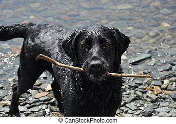 black labrador retriever with stick standing on the edge of ...