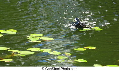 black labrador swims among the lilies