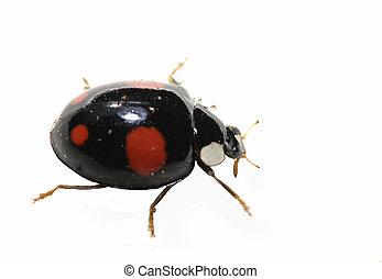 Black ladybird bug