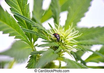 Black ladybug crawling on a cannabis plant isolated over ...
