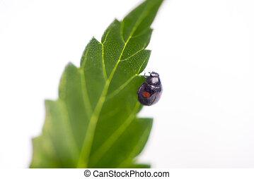 Black ladybug crawling on a cannabis plant isolated over white background