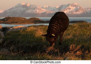 black lamb grazing