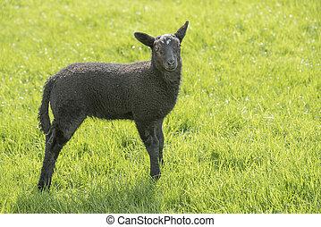 black lamb in a meadow