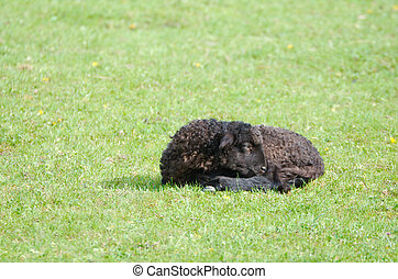 Black Lamb Resting