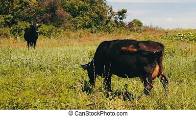 Black large cows eat grass on meadow. An agricultural animal...