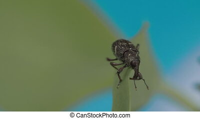 Black large weevil crawling on the leaf FS700 Odyssey 7Q