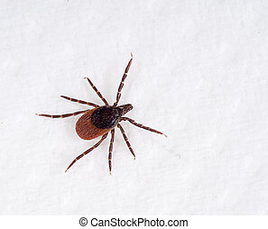 Black Legged tick. Ixodes scapularis aka Ixodes dammini, on whit