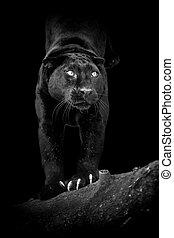 Black leopard on dark background