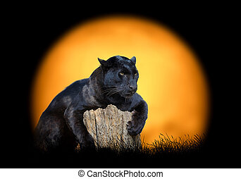 Black leopard on the background of sunset