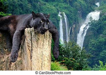 Black leopard on waterfall background