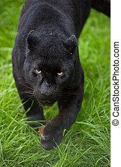 Black leopard Panthera Pardus prowling through long grass -...