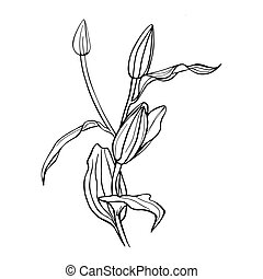 Black line lily vector sketch on white background.