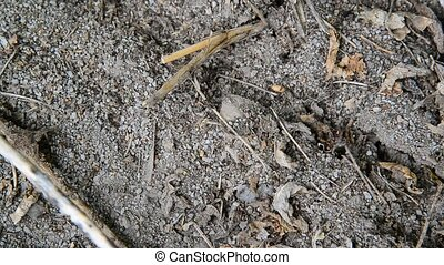 Black little ants creep along the ground