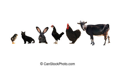 black livestock isolated on a white background