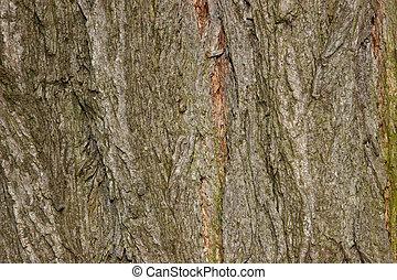 Black locust bark (Robinia pseudoacacia) - Bark of black...