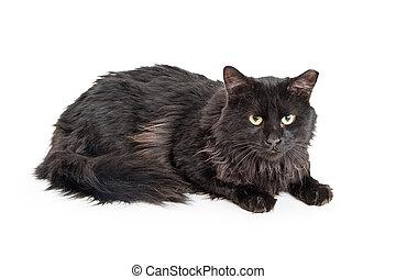 Black Longhair Cat Over White