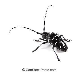 black longicorn on a white background close up