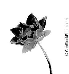 Black lotus isolated on white background