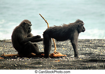 Black Macaques aka Celebes Crested Macaques (Macaca Nigra) Cleaning Each Other on the Shore, Tangkoko, Indonesia