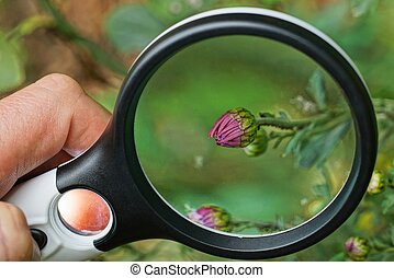 magnifier in hand increases the bud of a red small flower in green vegetation