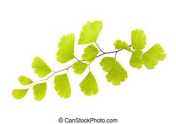 Maidenhair - Black Maidenhair fern branch (Adiantum capillus...
