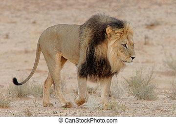 Big, black-maned African lion (Panthera leo) walking, Kalahari, South Africa