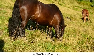 Black mare and foal grazing together on pasture in late...