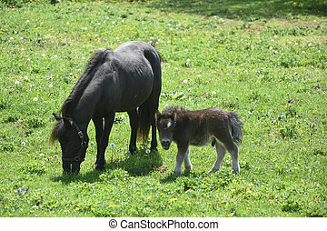 Black Mare Mini Horse Standing in a Field with a Foal