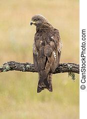 Black Milano( Milvus migrans ) perched on his perch