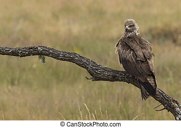 Black Milano, ( Milvus migrans ) perched on his perch