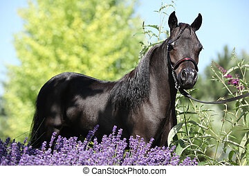 Black miniature horse behind purple flowers - Portrait of...