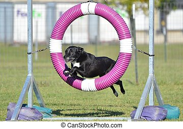 Black Mixed-Breed Dog at Agility Trial - Black Mixed-Breed...