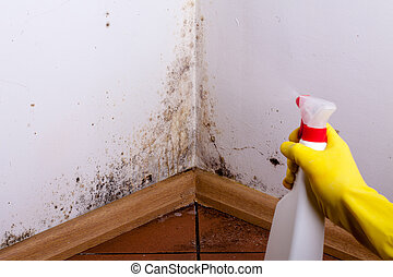 Black mold in the corner of room wall. Preparation for mold removal.