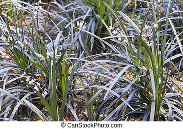 Black Mondo Grass with Flowers on Garden Backyard Landscaping Closeup