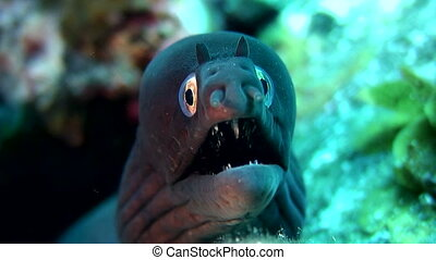 Close up underwater shot of a black moray.