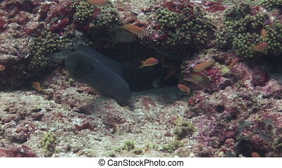 Black moray on background of sandy bottom in clean clear water of Maldives. Swimming in world of colorful beautiful wildlife of corals reefs. Inhabitants in search of food. Abyssal relax diving.
