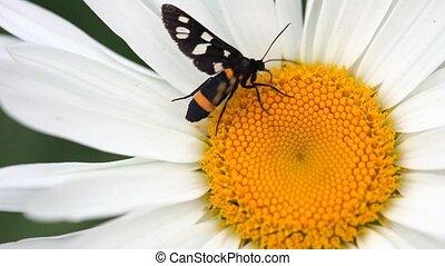 Black moth. - Black moth on chamomile.