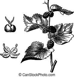 Black mulberry (Morus nigra), vintage engraving - Black...