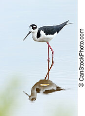 Black-necked Stilt - Everglades National Park, Florida -...