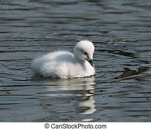 Cygnet - Black-necked Swan Cygnet with reflection