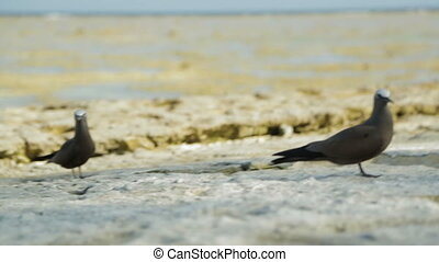 Close-up still shot of two curious black noddy birds at the beach, Lady Elliot Island, Great Barrier Reef.