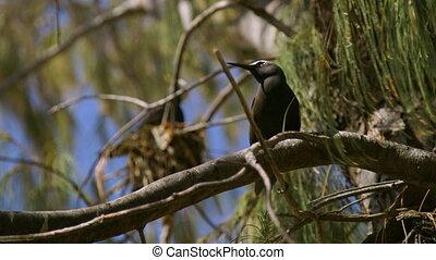 Black Noddy On Nesting Tree, Lady Elliot Island