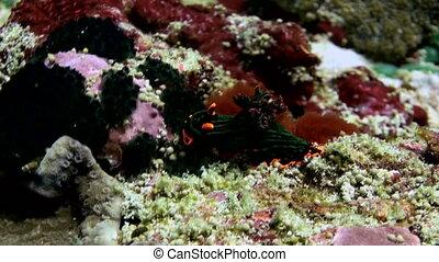 Black nudibranch sea slug with pink spots.