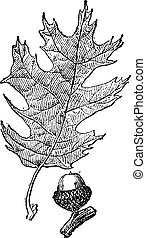 Black oak or Quercus velutina vintage engraving