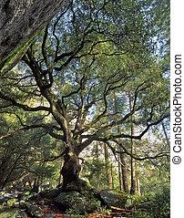 A black oak tree in Yosemite National Park, California.