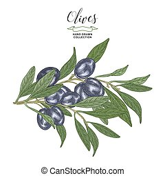 Black olives branches isolated on white background. Vector illustration botanical. Hand drawn engraving style.
