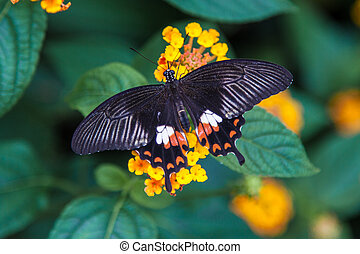black orange and white butterfly resing on a leaf