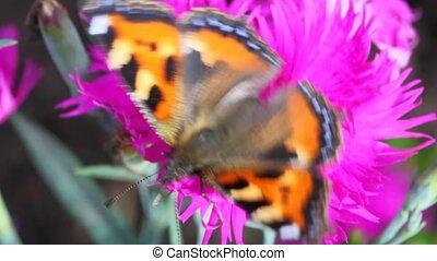 black-orange butterfly creeps on flower - big black-orange...