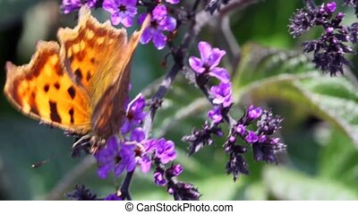 black-orange moth sits on branch with small violet florets