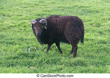 Black Ouessant sheep in a field in Brittany